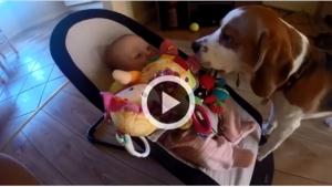 Image illustrant l'article Ce chien essaye de se faire pardonner après avoir volé le jouet d'un bébé
